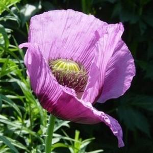 Opium - papaver